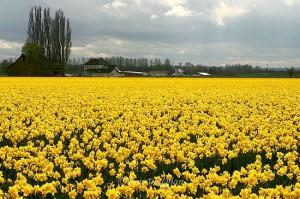Specialist_Crop_Daffodils