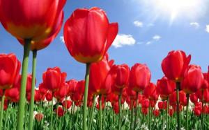 Specialist_Crop_Tulips