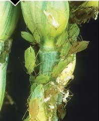 Rose-grain aphid (Metopolophium dirhodum)