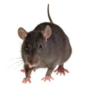 rat-pic